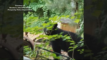 'What is a bear doing in Newberry?' Black bear spotted multiple times in the SC city