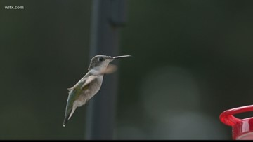 Hummingbirds Hindered by Warm Weather