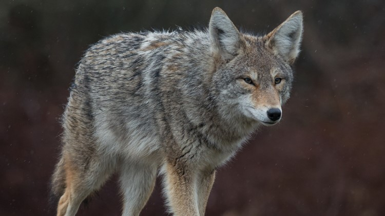 Coyote attacks pets, people in Columbia apartment complex
