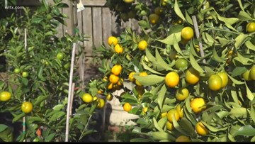 How to grow cold tolerant citrus trees in the South Carolina Midlands
