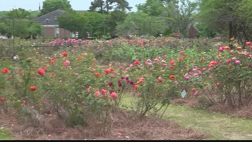 Orangeburg Festival of Roses postponed due to virus