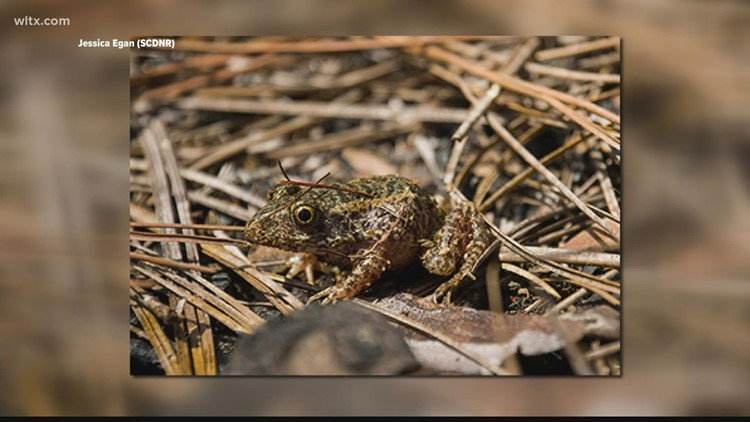 SC wildlife scientists and zoo team up to save gopher frogs