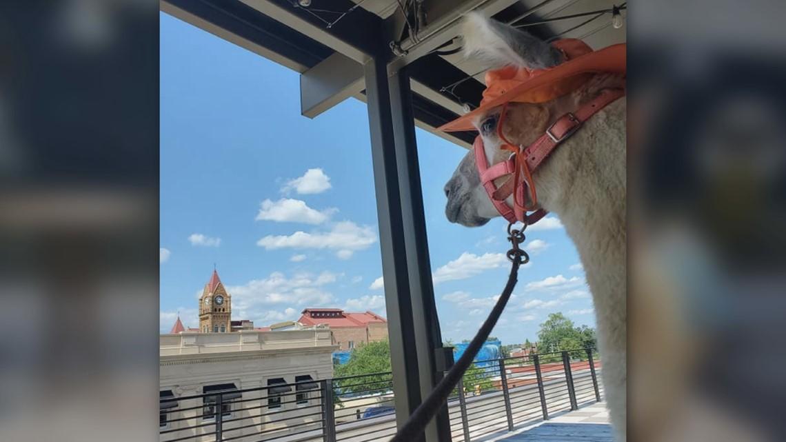Rescue Llama River takes a stroll through Downtown Sumter