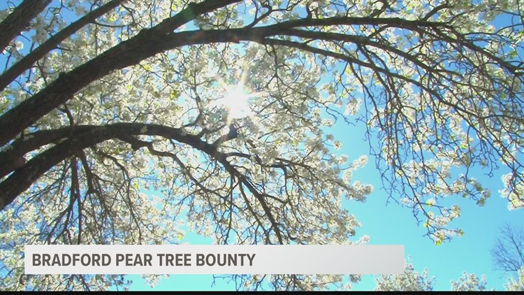 Bradford pear 'bounty' in Columbia gives landowners chance to exchange invasive trees