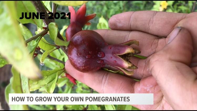 Pomegranates can grow in South Carolina