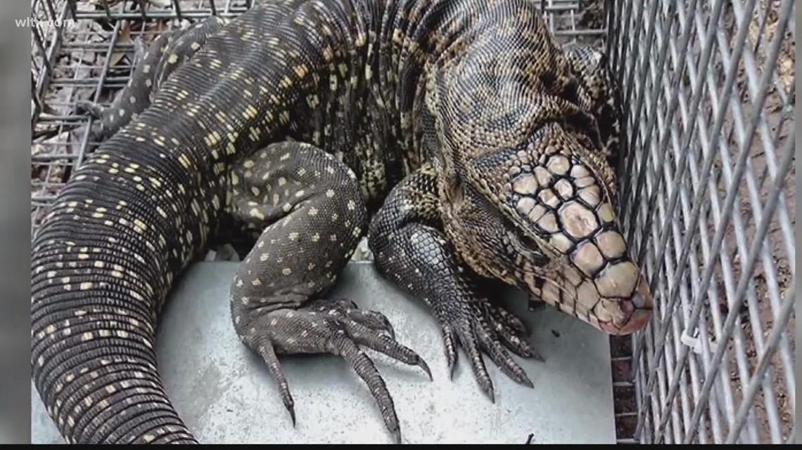 Tegu lizard registration deadline nears in SC