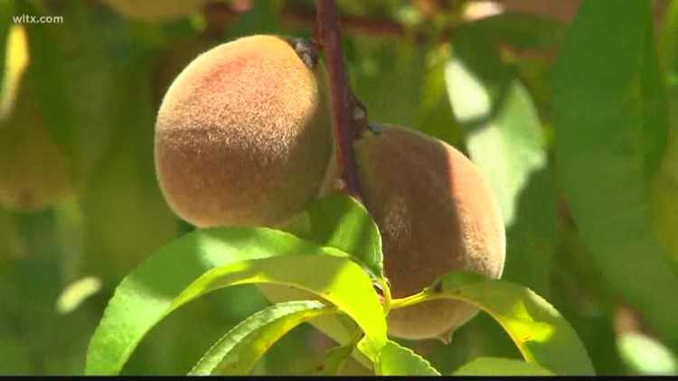 SC Peach Crop Expected to Rebound