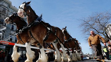 Budweiser Clydesdales coming to St. Pat's Day in Five Points