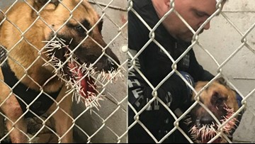 Sheriff's K-9 chasing suspect stuck with more than 200 porcupine quills