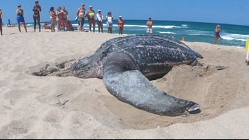 Rare sight: Leatherback sea turtle spotted nesting in broad daylight