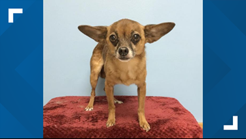 'Baby Yoda' dog looking for forever home