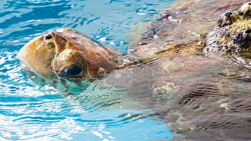Sea turtles thriving on empty Florida beach during pandemic