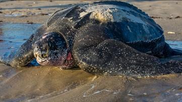 Florida beachgoers get a glimpse of a nesting 800-pound leatherback turtle