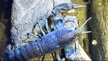 Rare blue lobster brought to a restaurant in Cape Cod