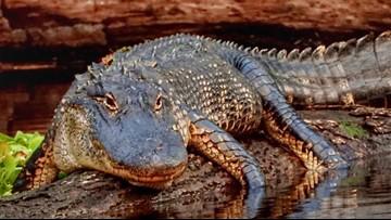 WATCH: Catfish caught on camera 'walking' over gators