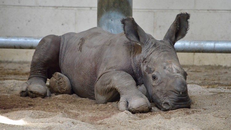 It's a boy!   Virginia Zoo welcomes first-ever southern white rhino calf