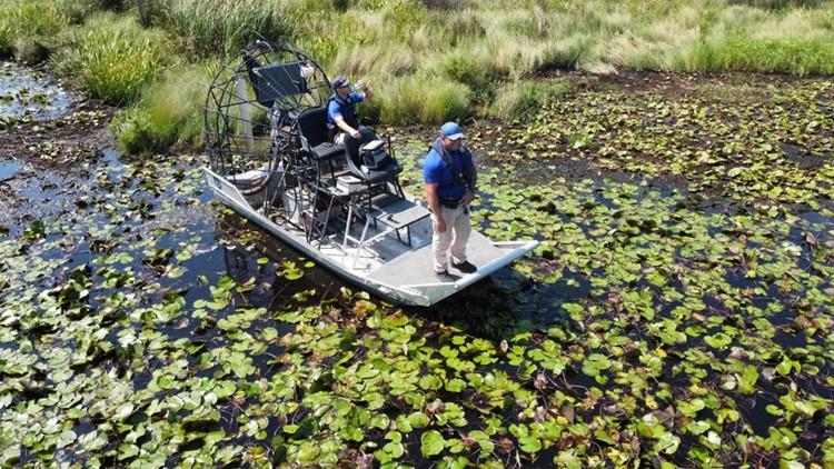 504-pound alligator captured near where man believed attacked after Hurricane Ida