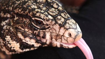 Biting, 4-foot lizard invades Georgia