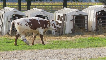 UDDERLY AMAZING | Artificial leg saves life of Charlette the cow